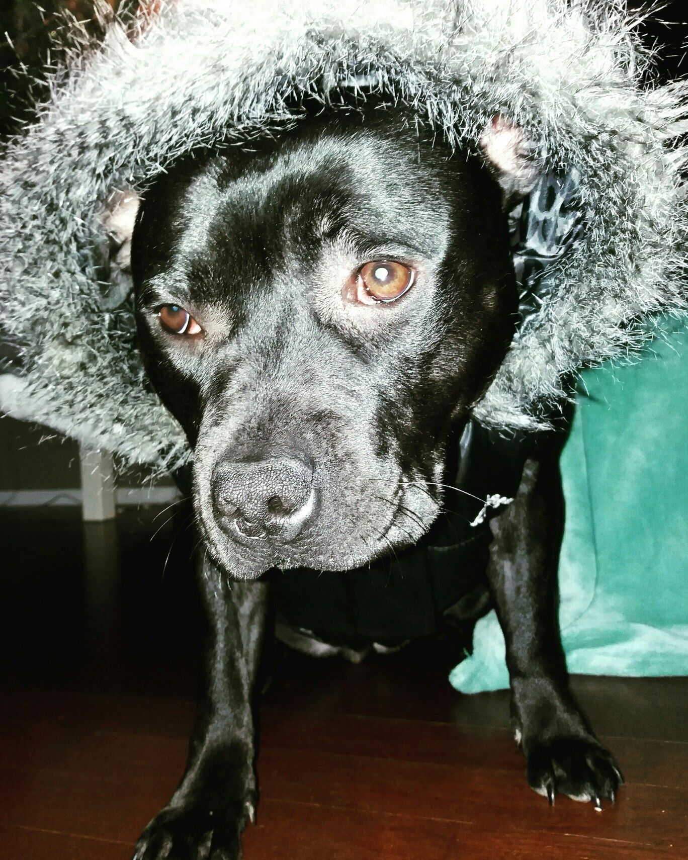 Staffie Mila Prete A Affronter Le Grand Froid Dogs Pitbulls