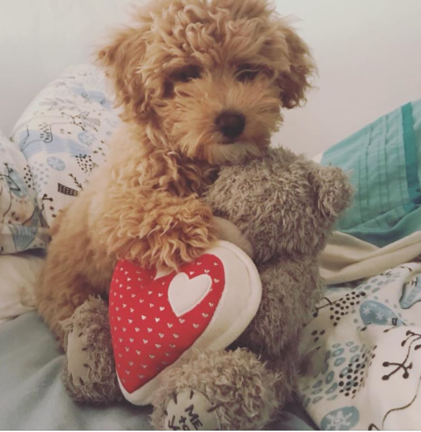 Poochon Dog Breed The Miniature Puddle Hellow Dog Poochon Dog Dog Breeds Cute Dogs