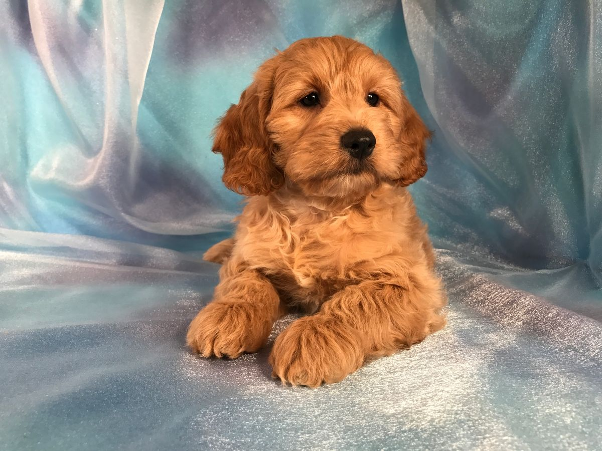 Cockapoo Puppies For Sale Cockapoo Breeder In Iowa With Images