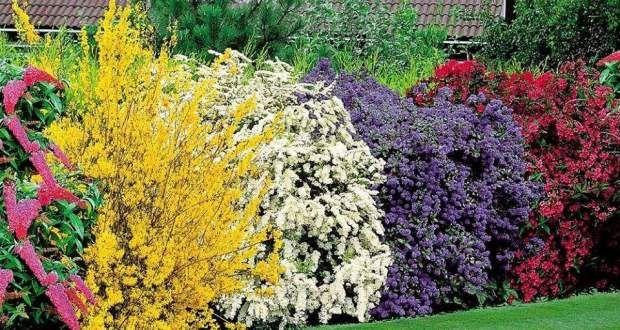 5 arbustos coloridos para realzar nuestro jard n jard n for Arbustos con flores para jardin