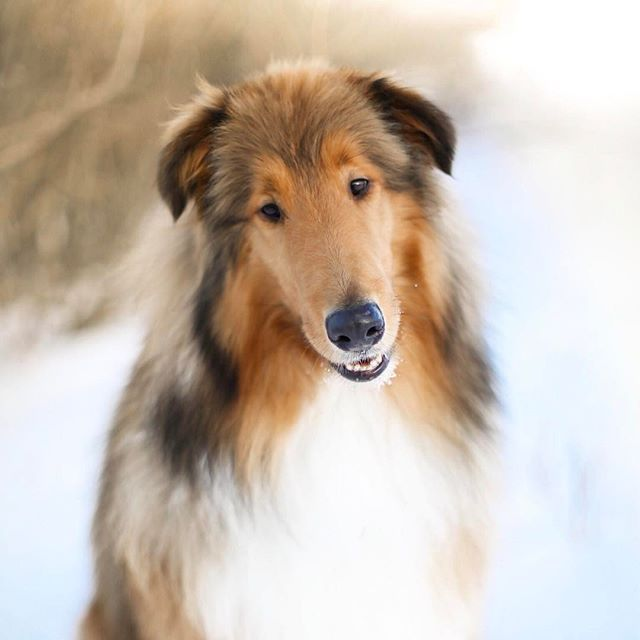 Koda Is A 2 And Half Year Old Rough Collie From Alberta Canada