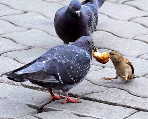 Pigeon bully taking sparrow's food