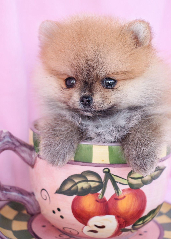 Teacup Pomeranian Puppy Pomeranian Puppy Teacup Teacup Puppies Pomeranian Puppy