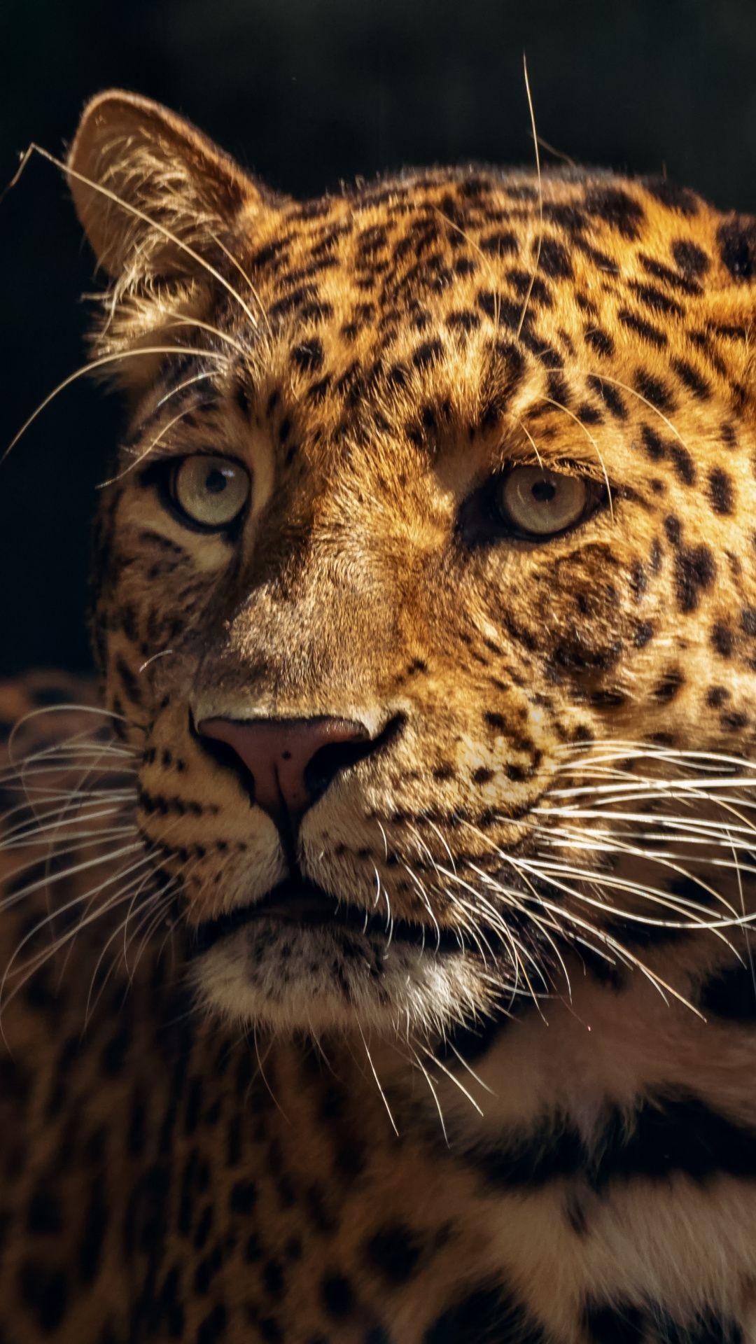 Zoo Wildlife Leopard Muzzle 1080x1920 Wallpaper Animal Wallpaper Animals Wallpaper