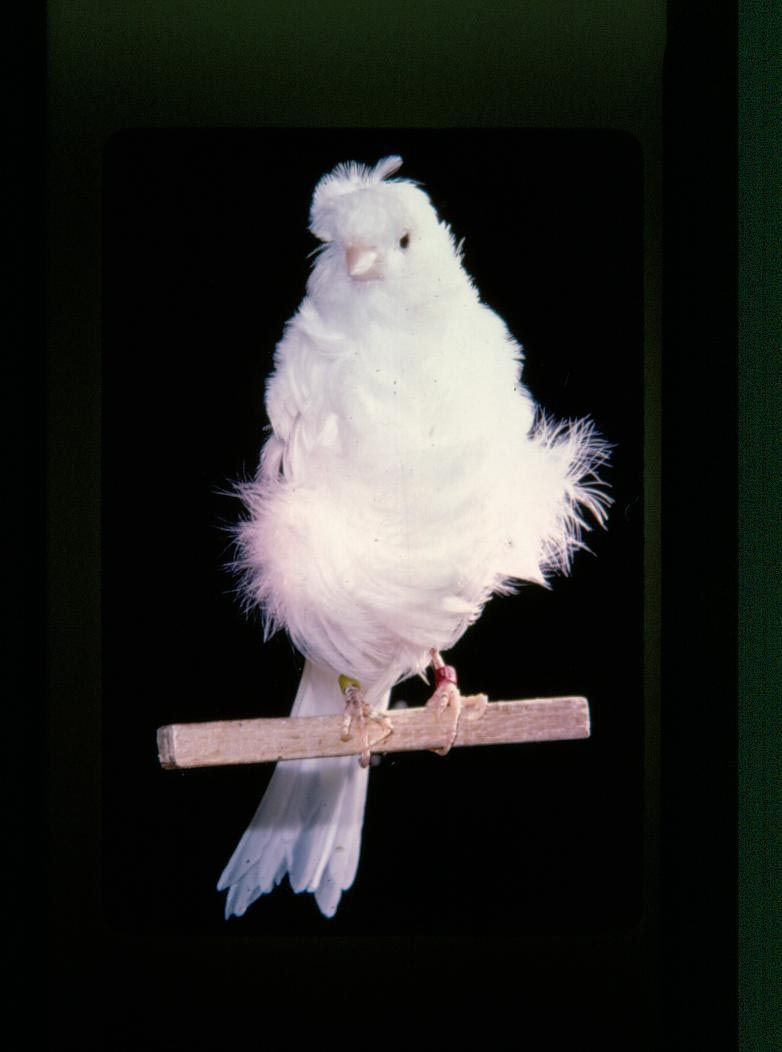 Exotic Birds For Sale >> Parisian Frill Canary   Ebony & Ivory - Melanisim ...