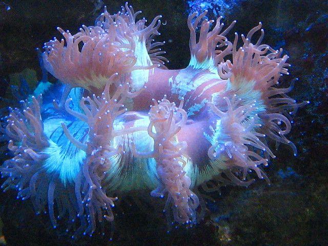 Aquarium...sea anemone