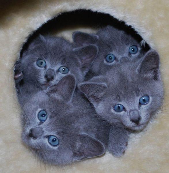 Russian Blue Kittens Russian Blue Cats Kittens Pets Horses