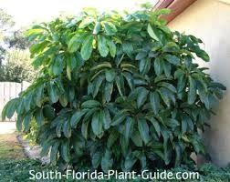 For Schefflera Actinophylla Umbrella Tree Florida
