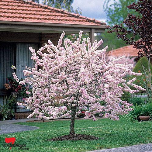 Plum Flowering Blireana Bagged Perth Wa Online Garden Centre Flowering Cherry Tree Trees To Plant Plants
