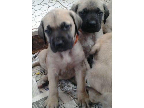 English Mastiff Puppies Akc Registered Tucson Az English