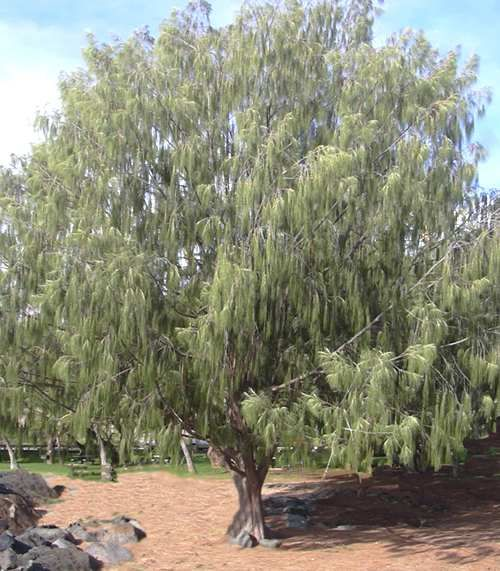 Casuarina Tree Fast Growing Nitrogen Fixer Great Firewood
