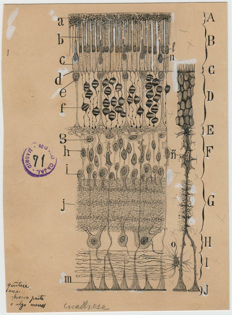 Santiago Ramon y Cajal dibujos artista neurona 7 | 04 Anatomía ...