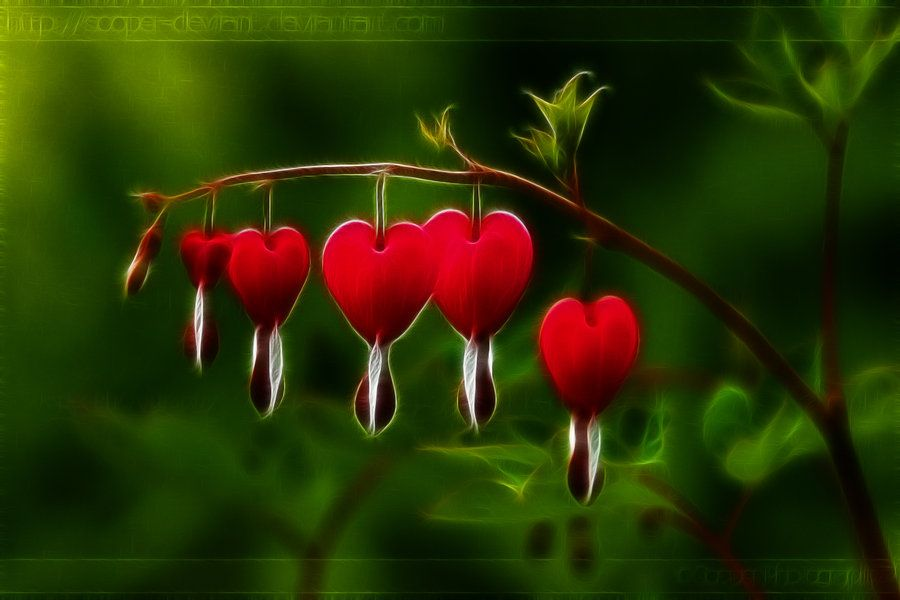 The Bleeding Heart S Bloom By 1sonofatoms0 On Deviantart Bleeding Heart Flower Bleeding Heart Beautiful Flowers