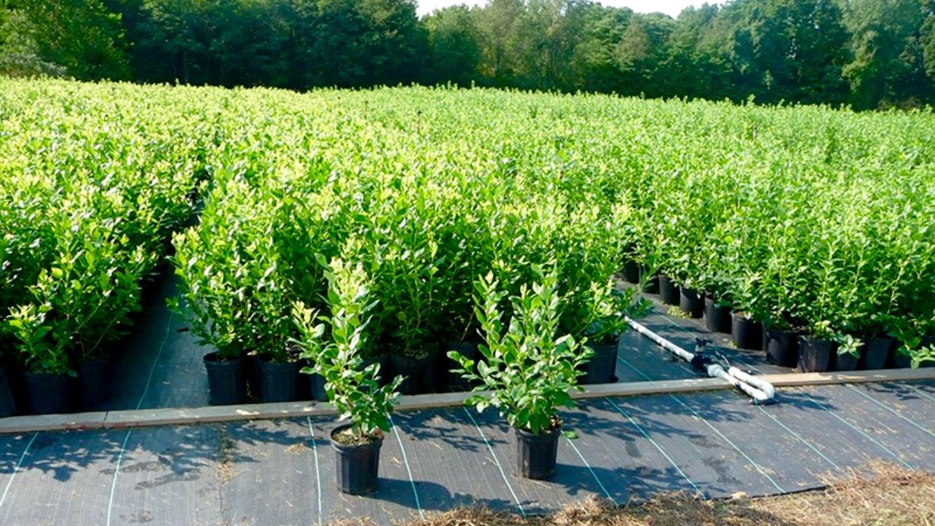 Blueberry Plants On By Dimeo S Nursery That Blueberries Direct To Growers Of