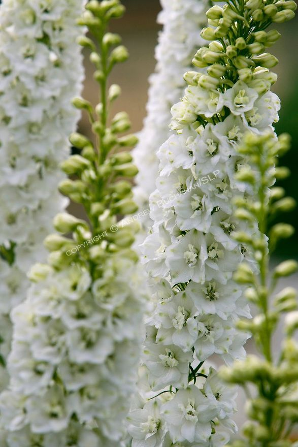 A close up detail view of white delphinium stalks in the a close up detail view of white delphinium stalks in the sissinghurst style mightylinksfo