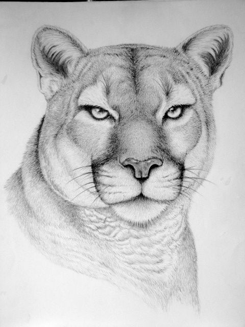 17 Best images about Animal drawings on Pinterest   Deer, Animal ...