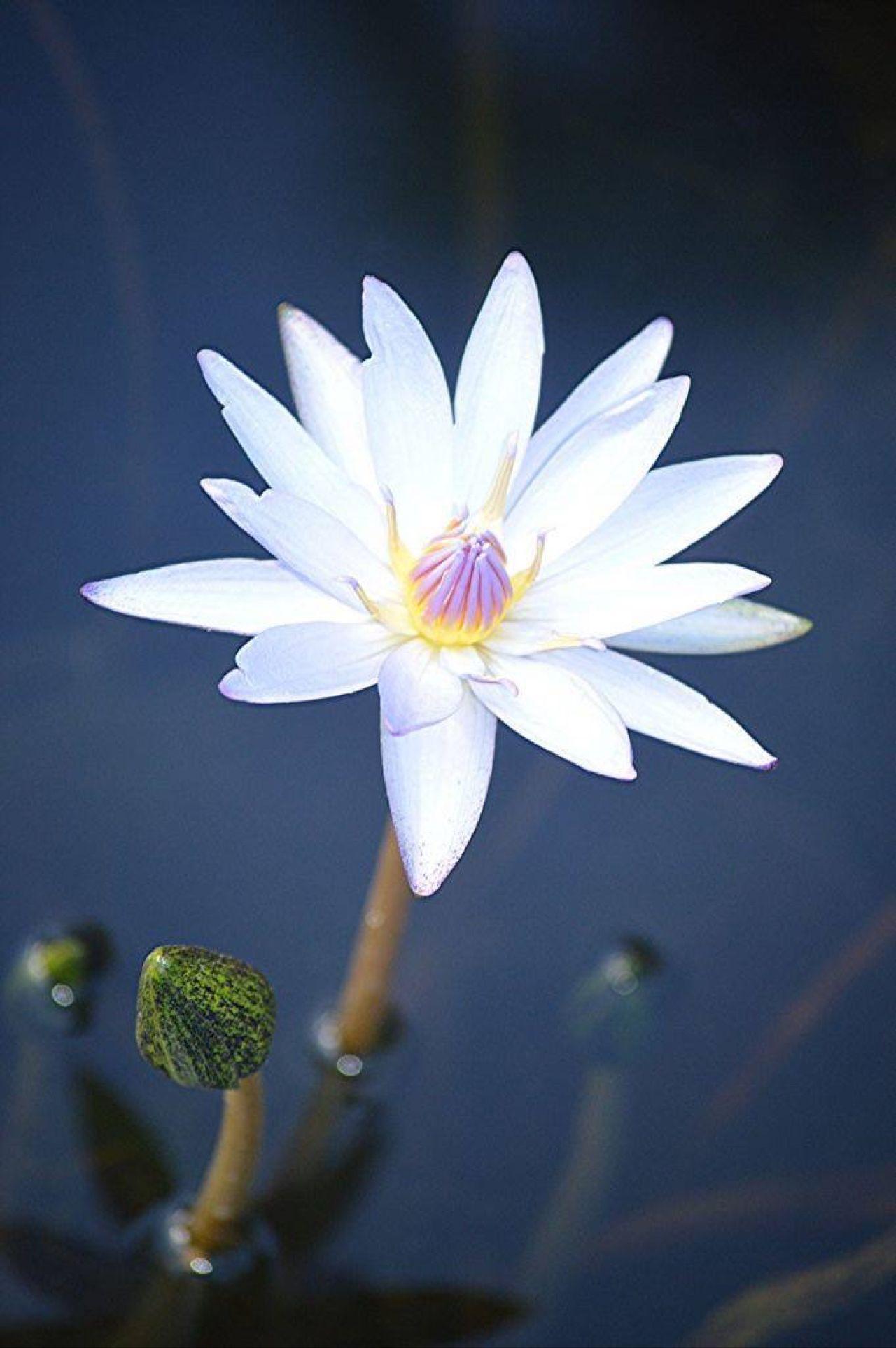 O lótus (padma), também conhecido como lótus-egípcio, lótus-sagrado ou lótus-da-índia, é uma planta aquática que floresce sobre a água.O significado mais importante da flor de lótus é pureza do corpo e da mente. A água lodosa que acolhe a planta é associada ao apego e aos desejos. Na literatura clássica de muitas culturas asiáticas, a flor de lótus simboliza elegância, beleza, perfeição, pureza e graça, sendo frequentemente associada aos atributos femininos ideais.