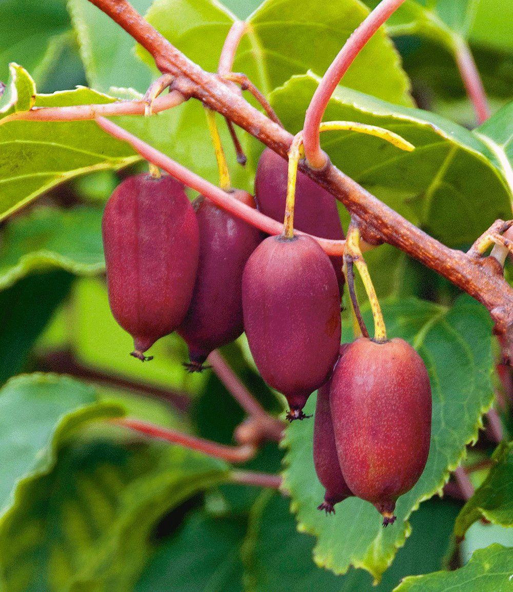 trauben kiwi 39 red jumbo 39 garden pinterest kiwi fruit und exotic fruit. Black Bedroom Furniture Sets. Home Design Ideas