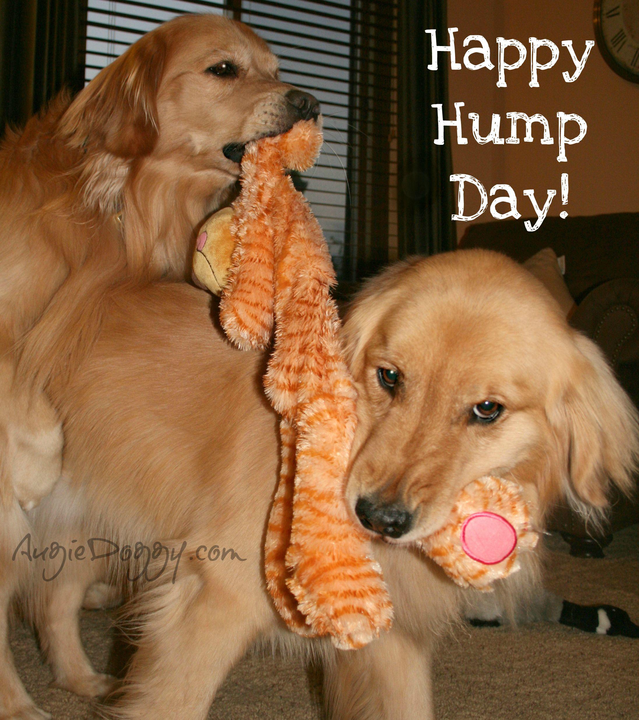 Happy Hump Day Dogs Golden Retriever