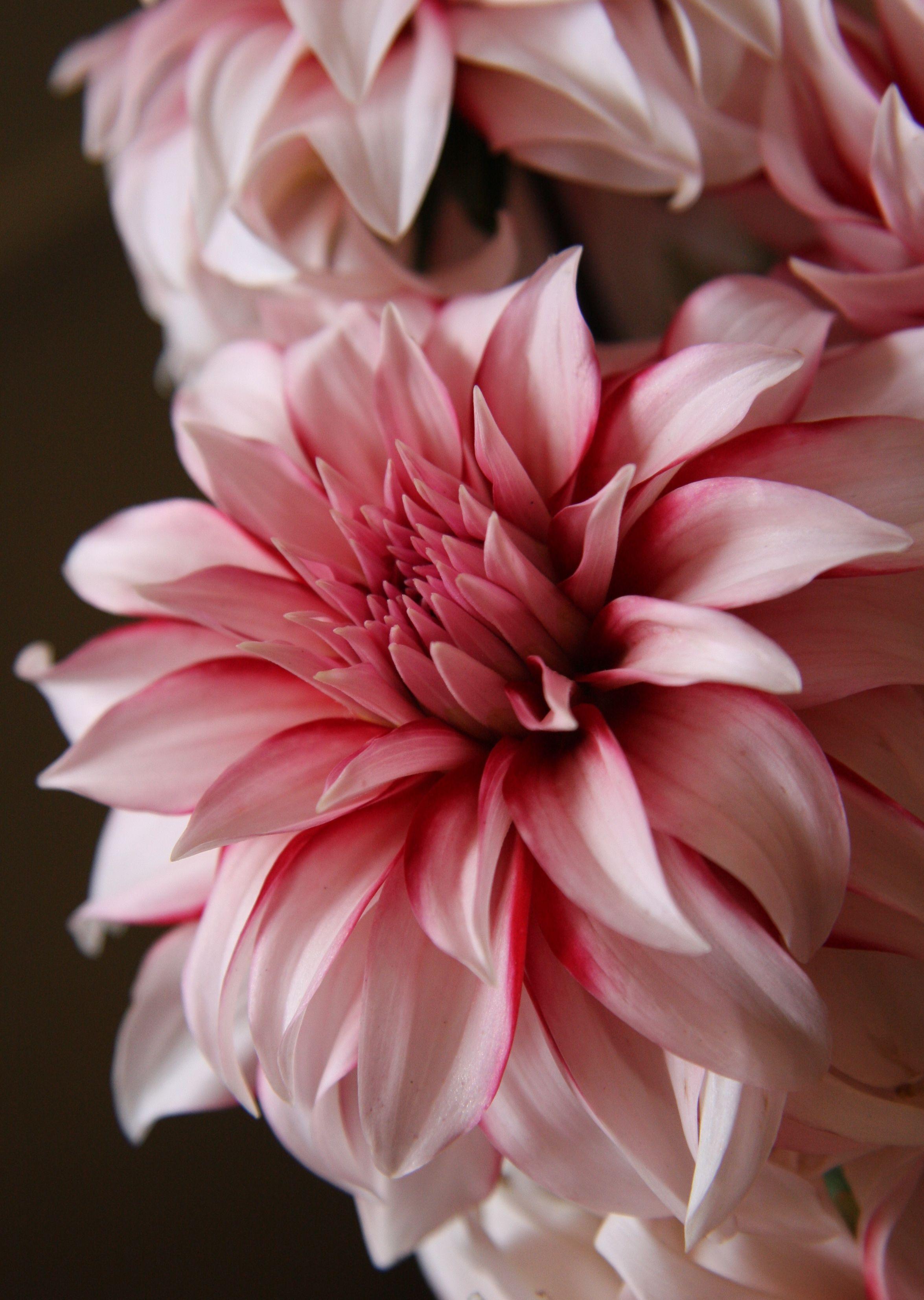 Pink Dahlias Beautiful Flowers Amazing Flowers Pretty Flowers