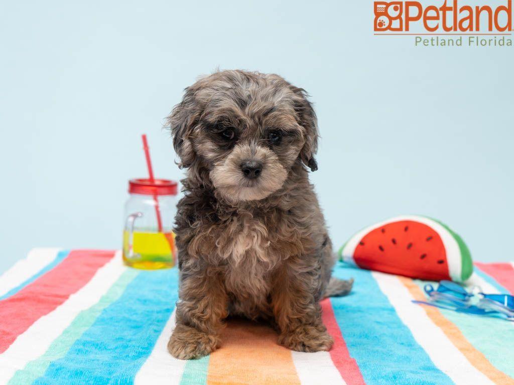 Puppies For Sale Cavachon Puppies Cavachon Puppies