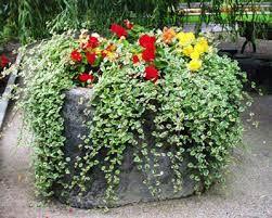 Znalezione Obrazy Dla Zapytania Rosliny Balkonowe Pnace Plants