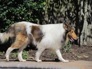 Adopt Merlin New Updated On Collie Dog Animals Collie Rescue