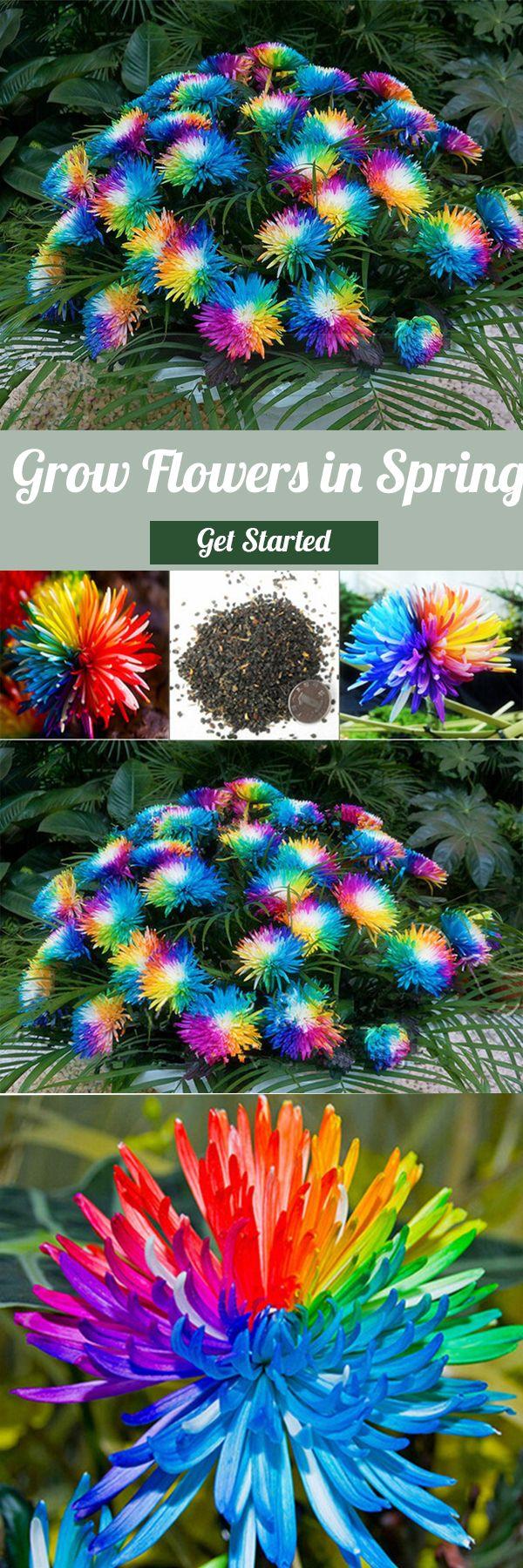 Pcs rainbow chrysanthemum flower seeds magic garden rare color