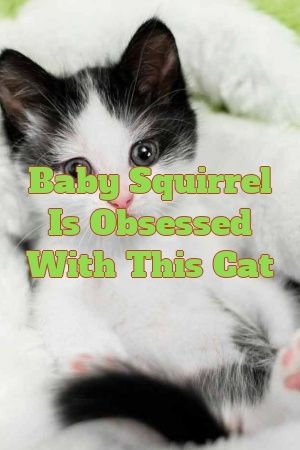 Heather Morgan Tells About Baby Squirrel Is Obsessed With This Cat  #australianmist  #kitty  #catlife  #animals  #lovecats  #Kittens  #catcondo  #Colors