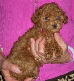 Poodle Puppies And Dogs For Sale Pets Classified Ad Oregonlive