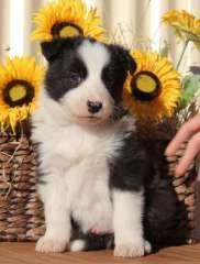 Beautiful Bouncing Border Babies Puppies For Sale Nanango