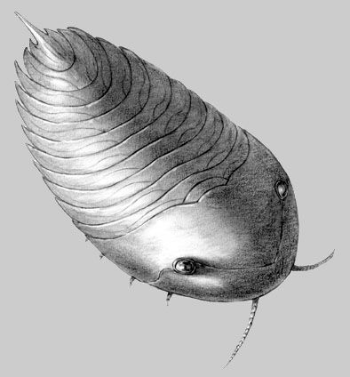 Xandarella is a Trilobite like from the Lower Cambrian Chengjiang Fauna by Javier Herbozo