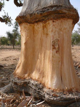 L'écorce du baobab, mar. 2010, Mali | Cecile, Pays, Assaisonnement