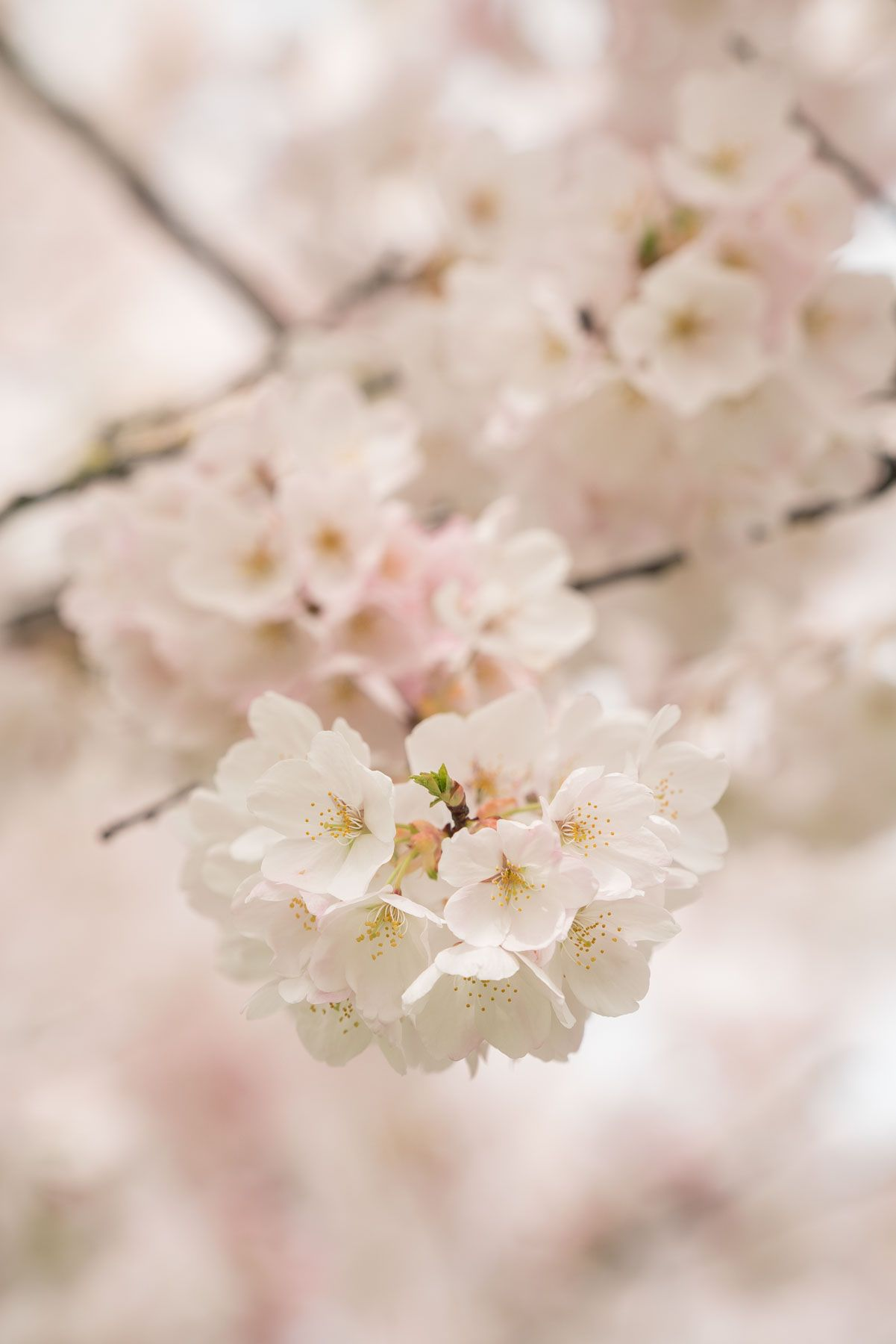 2020 Local S Guide To Cherry Blossoms In Portland Visit Portland Spring Blooms Lilac Gardening Cherry Blossom Season
