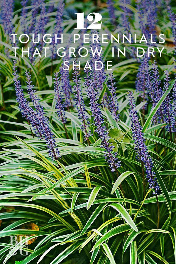 Tough Perennials That Grow in Dry Shade#Spring #Garden