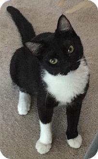 St Louis Mo Domestic Shorthair Meet Chloe A Cat For Adoption