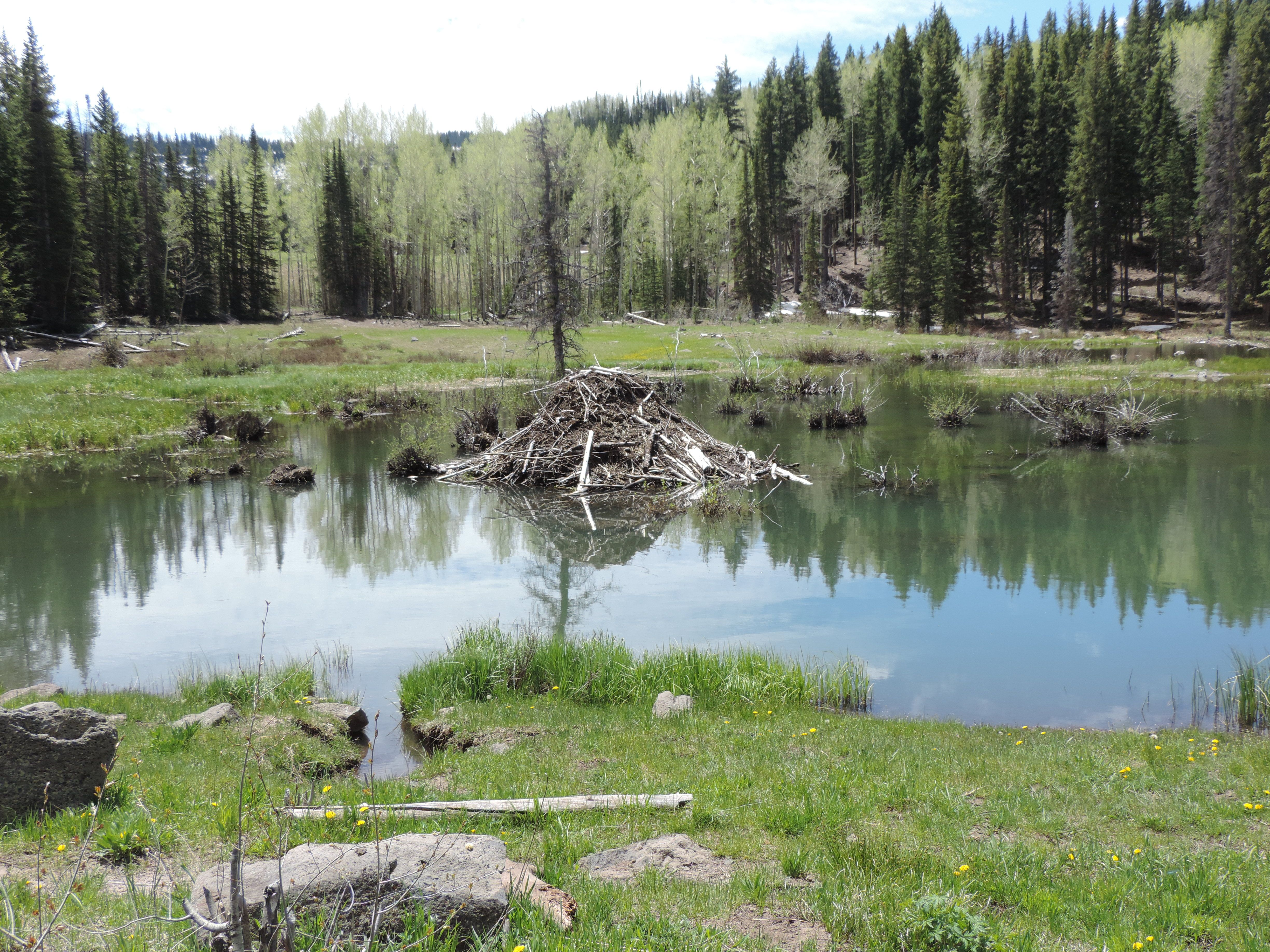 Beaver pond on the Grand Mesa in Colorado