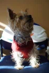 Scampi - Yorkshire Terrier boy available for adoption in NJ