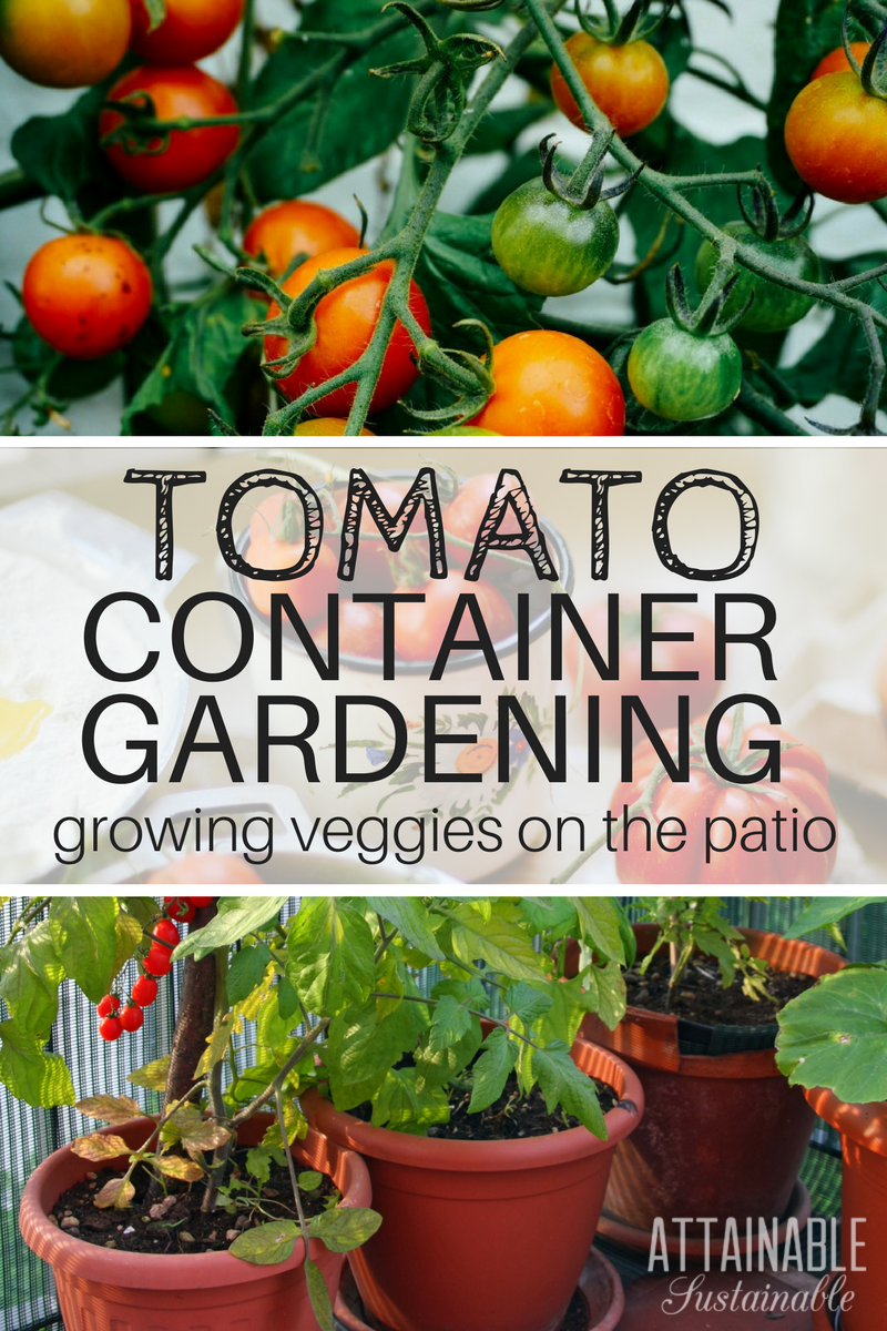 Growing Tomatoes In Pots To Save Space Attainable 640 x 480