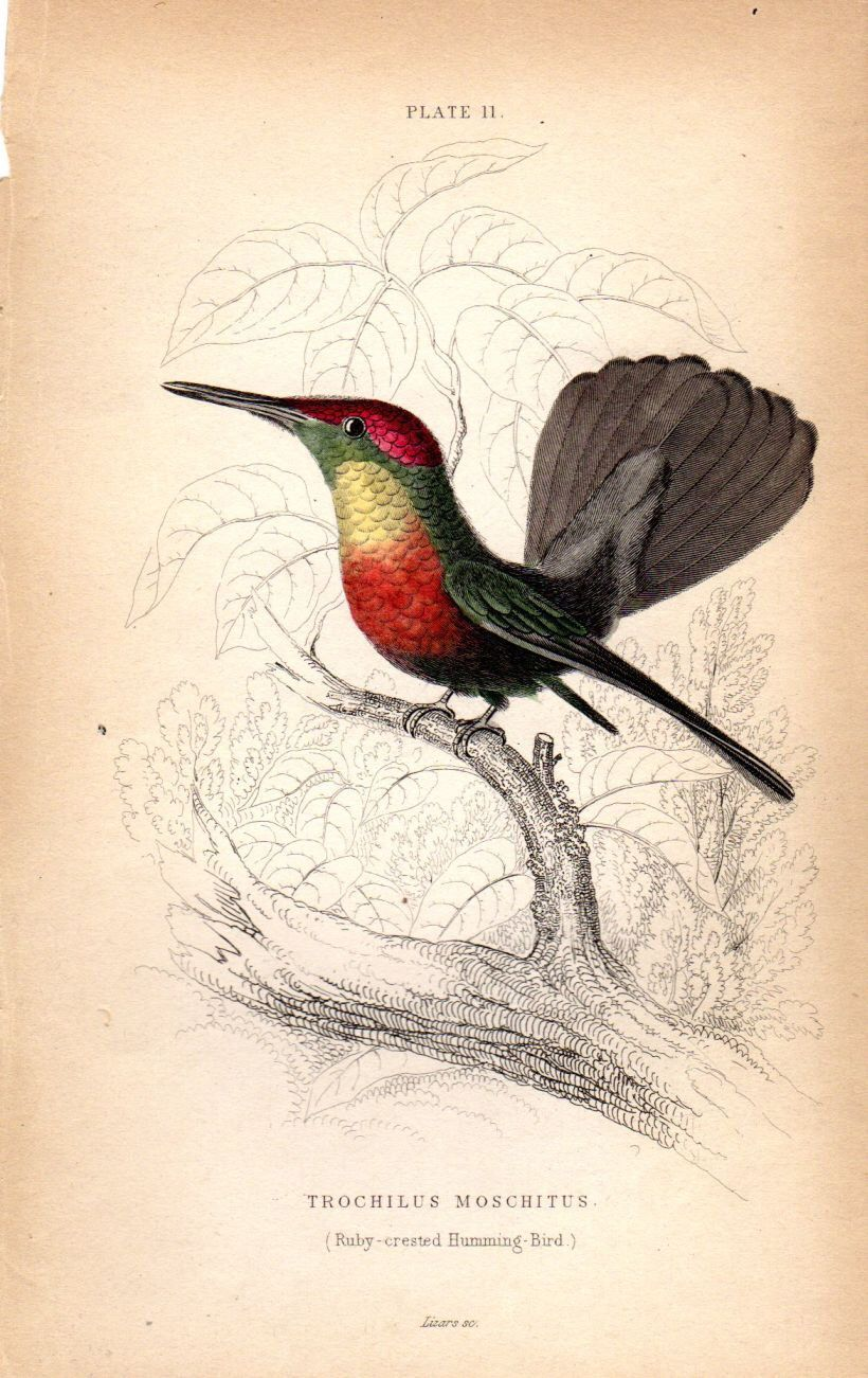 1834 Hummingbird Antique Print Hand Colored Engraving Ruby Crested Jardine By AntiquePrintGallery On Etsy