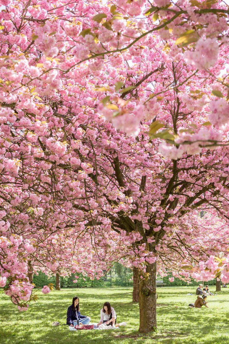 b3254aa35 Parc de Sceaux | Paris Day Trip | Experience The Pink Orchard, a cherry  blossom oasis within the Parc de Sceaux, with this floral filled travel  guide.