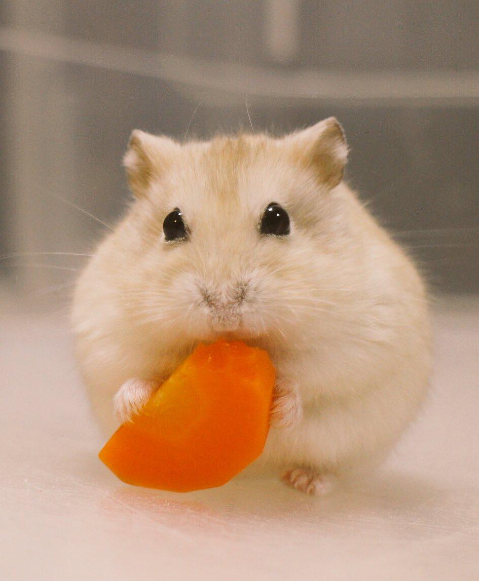 Hamsters おしゃれまとめの人気アイデア Pinterest Joanna E ハムスター かわいいペット 動物 かわいい