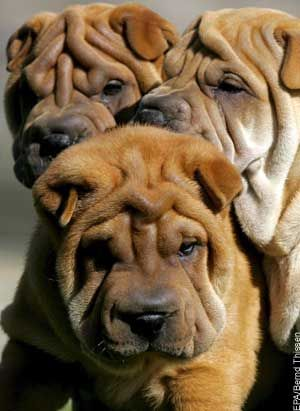 A Wrinkle Of Shar Peis Animals Beautiful Beautiful Dogs Dogs