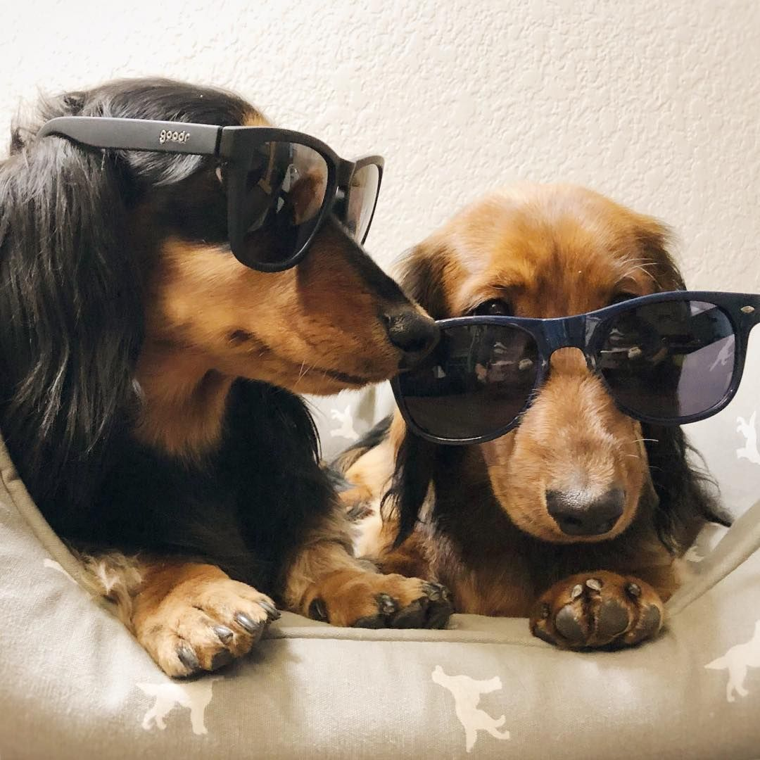 Cool Doxies Cute Dachshunds If You Love Dachshunds Visit Our Blog To Find The Best Products And Accessories For H Dachshund Breed Clever Dog Dachshund