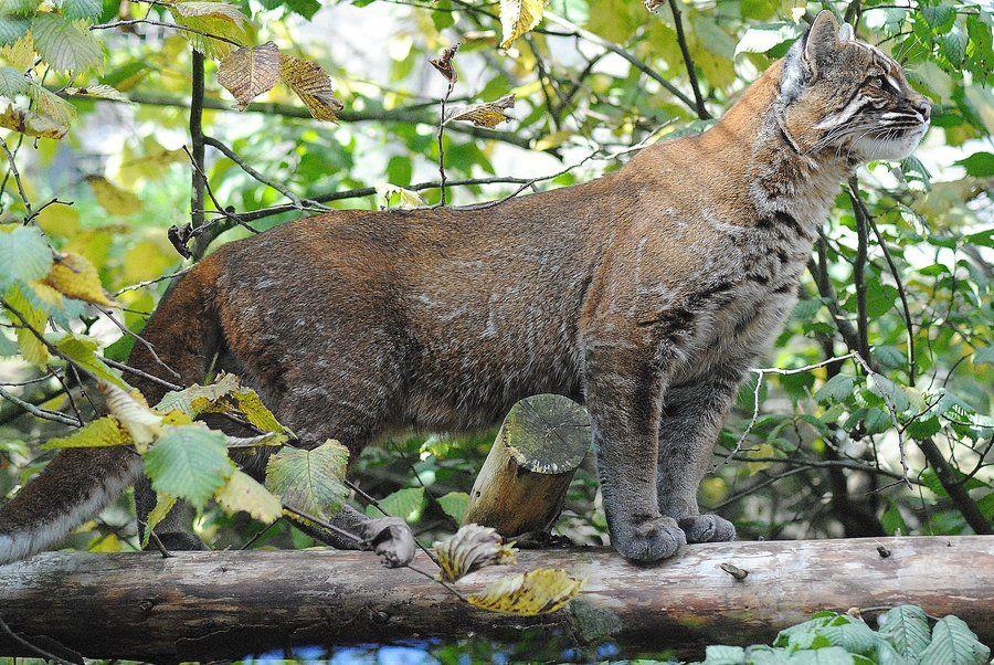 The male Asian Golden Cat named Bruno from Edinburgh Zoo