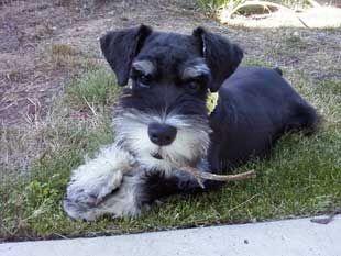Miniature Schnauzer Club Of Southern California Mscsc Puppies Schnauzer Breed Schnauzer Puppy Cute Dog Pictures