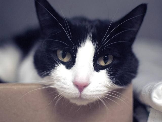Fairfield Ct Loraleeshe Is A Pretty Female Spayed Black White Tuxedo Mix Cat Shorthaired Approx 3 4 Yrs Old She Is Affecti Pet Protector Cats Fur Babies