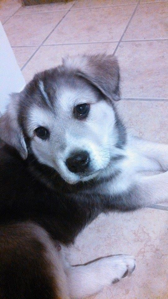 Pin By Stephanie H On Puppies Husky Mix Husky Puppies