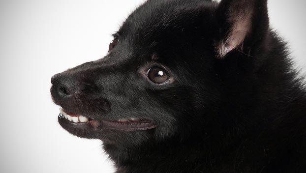 schipperke dog breed selector black dogs pinterest