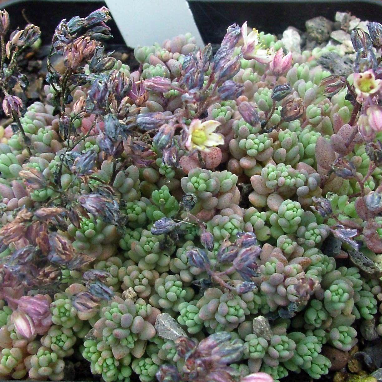 Sedum Dasyphyllum Lilac Mound With Images Succulent